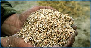 crimped grain